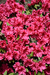 Red Ruffles Azalea (Rhododendron 'Red Ruffles') at Meadows Farms Nurseries