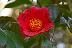 Rising Sun Camellia (Camellia japonica 'Rising Sun') at Meadows Farms Nurseries