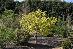 The Rising Sun Redbud (Cercis canadensis 'The Rising Sun') at Meadows Farms Nurseries