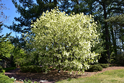 White Fringetree (Chionanthus virginicus) at Meadows Farms Nurseries