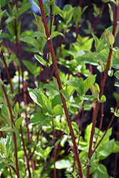 Bailey Red-Twig Dogwood (Cornus baileyi) at Meadows Farms Nurseries