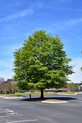 Willow Oak (Quercus phellos) at Meadows Farms Nurseries