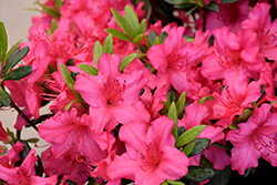 Girard's Rose Azalea (Rhododendron 'Girard's Rose') at Meadows Farms Nurseries