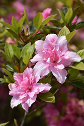 Encore® Autumn Carnation™ Azalea (Rhododendron 'Roblec') at Meadows Farms Nurseries