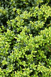Soft Touch Japanese Holly (Ilex crenata 'Soft Touch') at Meadows Farms Nurseries