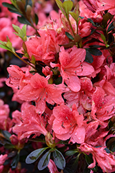 Fashion Azalea (Rhododendron 'Fashion') at Meadows Farms Nurseries