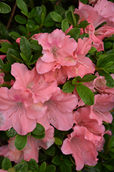 Encore® Autumn Debutante™ Azalea (Rhododendron 'Roblel') at Meadows Farms Nurseries