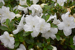 Encore® Autumn Angel™ Azalea (Rhododendron 'Robleg') at Meadows Farms Nurseries