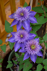 Multi Blue Clematis (Clematis 'Multi Blue') at Meadows Farms Nurseries