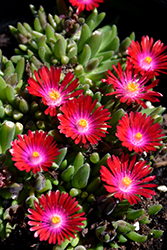 Jewel Of Desert Garnet Ice Plant (Delosperma 'Jewel Of Desert Garnet') at Meadows Farms Nurseries