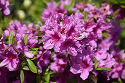 Herbert Azalea (Rhododendron 'Herbert') at Meadows Farms Nurseries