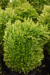 True Dwarf Boxwood (Buxus sempervirens 'True Dwarf') at Meadows Farms Nurseries