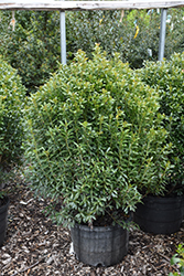Compact Inkberry Holly (Ilex glabra 'Compacta') at Meadows Farms Nurseries