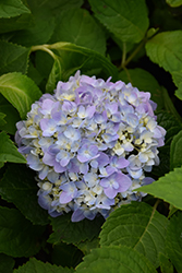 Let's Dance® Moonlight Hydrangea (Hydrangea macrophylla 'Robert') at Meadows Farms Nurseries