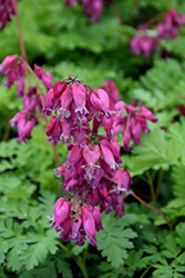 Luxuriant Bleeding Heart (Dicentra 'Luxuriant') at Meadows Farms Nurseries