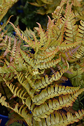 Brilliance Autumn Fern (Dryopteris erythrosora 'Brilliance') at Meadows Farms Nurseries