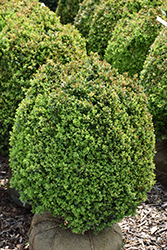 Dwarf English Boxwood (Buxus sempervirens 'Suffruticosa') at Meadows Farms Nurseries