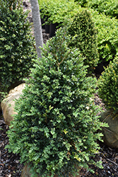 John Baldwin Boxwood (Buxus microphylla 'John Baldwin') at Meadows Farms Nurseries