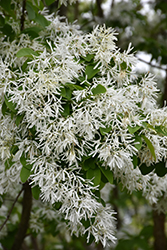 Chinese Fringetree (Chionanthus retusus) at Meadows Farms Nurseries