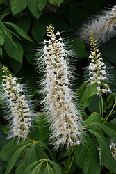 Bottlebrush Buckeye (Aesculus parviflora) at Meadows Farms Nurseries