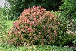 Admiration Japanese Barberry (Berberis thunbergii 'Admiration') at Meadows Farms Nurseries