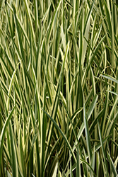 Variegated Sweet Flag (Acorus calamus 'Variegatus') at Meadows Farms Nurseries