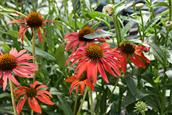 Tomato Soup Coneflower (Echinacea 'Tomato Soup') at Meadows Farms Nurseries