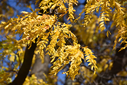 Shademaster Honeylocust (Gleditsia triacanthos 'Shademaster') at Meadows Farms Nurseries