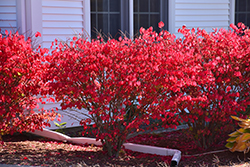 Chicago Fire Burning Bush (Euonymus alatus 'Chicago Fire') at Meadows Farms Nurseries