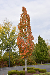 Armstrong Maple (Acer x freemanii 'Armstrong') at Meadows Farms Nurseries