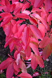 Sourwood (Oxydendron arboreum) at Meadows Farms Nurseries