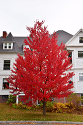 Sun Valley Red Maple (Acer rubrum 'Sun Valley') at Meadows Farms Nurseries