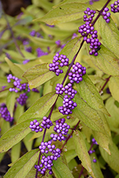 Early Amethyst Beautyberry (Callicarpa dichotoma 'Early Amethyst') at Meadows Farms Nurseries