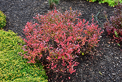 Lowbush Blueberry (Vaccinium angustifolium) at Meadows Farms Nurseries