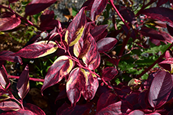 Rainbow Fetterbush (Leucothoe fontanesiana 'Rainbow') at Meadows Farms Nurseries