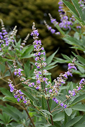 Chaste Tree (Vitex agnus-castus) at Meadows Farms Nurseries