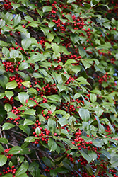 American Holly (Ilex opaca) at Meadows Farms Nurseries