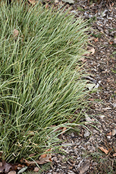 Variegated Grassy-Leaved Sweet Flag (Acorus gramineus 'Variegatus') at Meadows Farms Nurseries