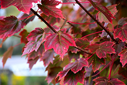 Brandywine Red Maple (Acer rubrum 'Brandywine') at Meadows Farms Nurseries