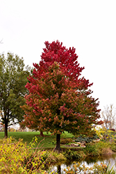 Red Sunset Red Maple (Acer rubrum 'Red Sunset') at Meadows Farms Nurseries