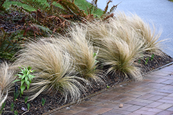 Mexican Feather Grass (Nassella tenuissima) at Meadows Farms Nurseries