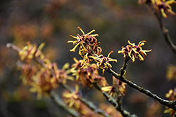 Chinese Witchhazel (Hamamelis mollis) at Meadows Farms Nurseries