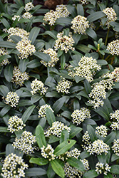 Dwarf Female Japanese Skimmia (Skimmia japonica 'Dwarf Female') at Meadows Farms Nurseries