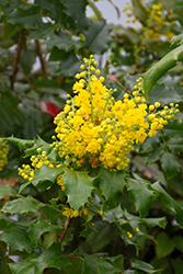 Oregon Grape (Mahonia aquifolium) at Meadows Farms Nurseries