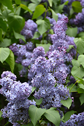Wedgewood Blue Lilac (Syringa vulgaris 'Wedgewood Blue') at Meadows Farms Nurseries