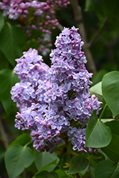 President Grevy Lilac (Syringa vulgaris 'President Grevy') at Meadows Farms Nurseries