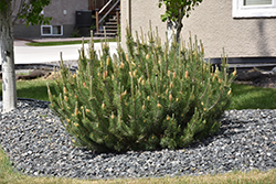 Mugo Pine (Pinus mugo) at Meadows Farms Nurseries