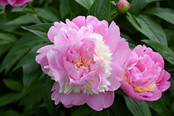 Sorbet Peony (Paeonia 'Sorbet') at Meadows Farms Nurseries
