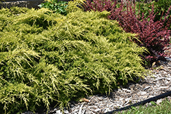 Gold Lace Juniper (Juniperus x media 'Gold Lace') at Meadows Farms Nurseries