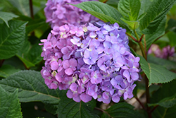 Bloomstruck® Hydrangea (Hydrangea macrophylla 'PIIHM-II') at Meadows Farms Nurseries
